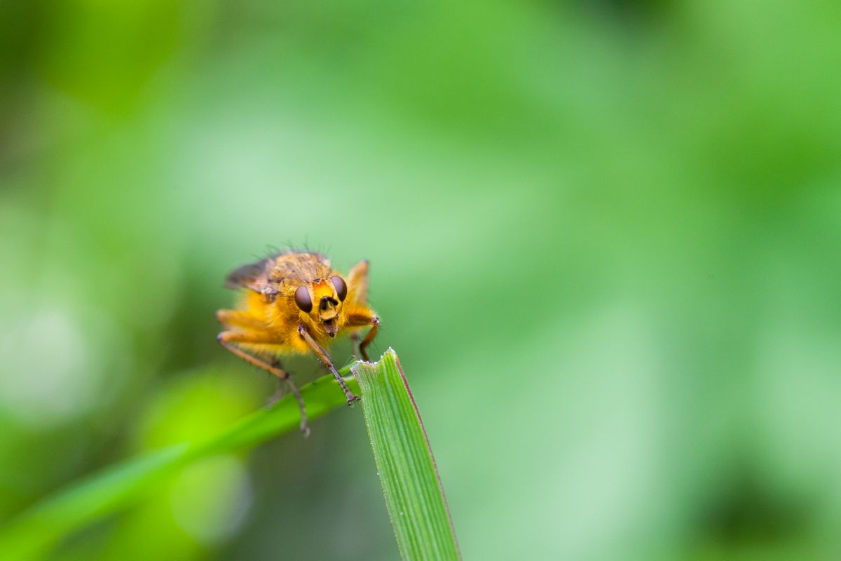 Golden dung fly