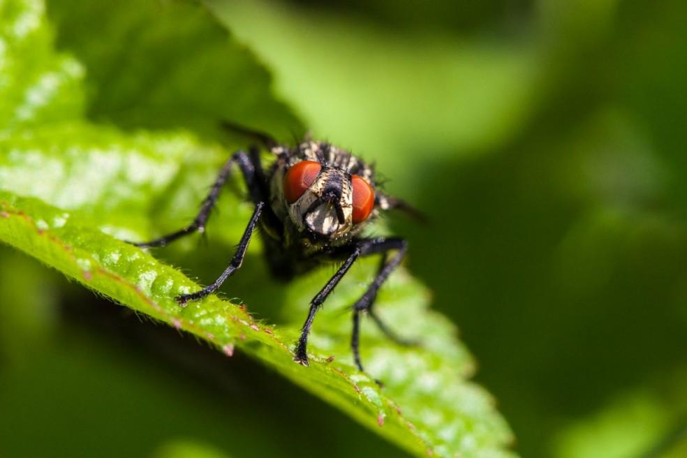 Female housefly